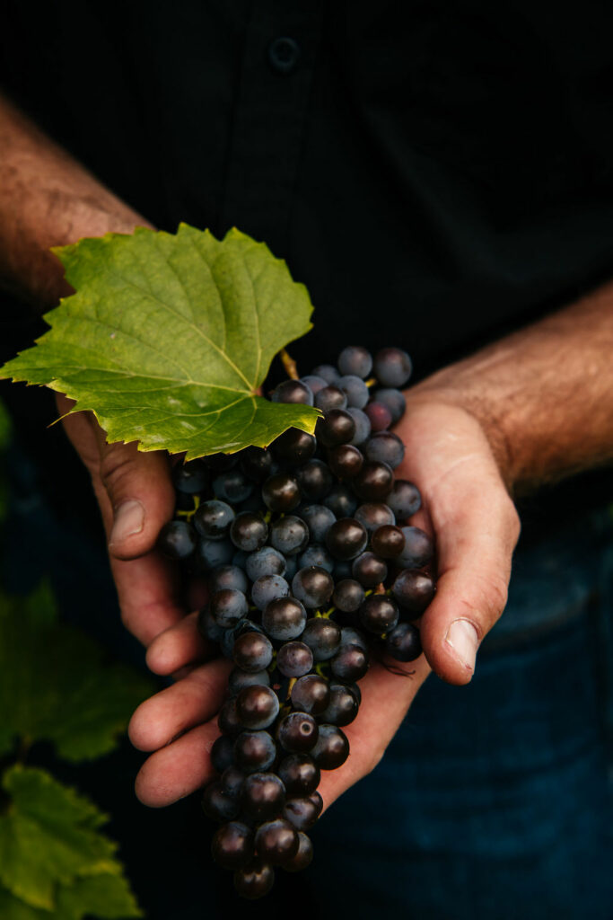 A man's hands holding a bunch of grapes
